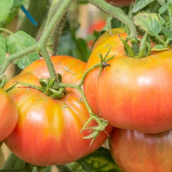 Tomate Ruby Gold.