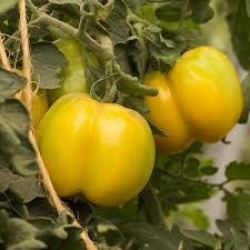 Tomate yellow stuffer