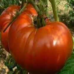Tomate Grosse locale